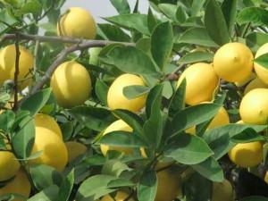 Фото лимонов желтого цвета