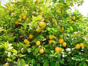 Фото дерева лимон облепленное плодами желтого цвета
