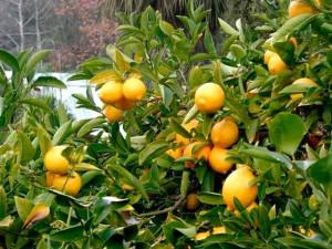 Красивое фото лимонов желтого цвета