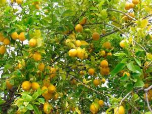 Лимон свойства и размножение, фото
