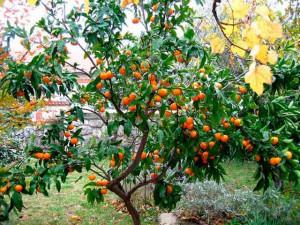 Мандарин применение, свойства, выращивание и фото оранжевого цвета плоды