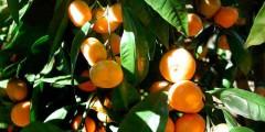 Мандарин применение, свойства, выращивание и фото