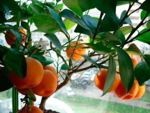 Фото плодов мандарина оранжевого цвета