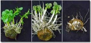 размножение картофеля отводками фото