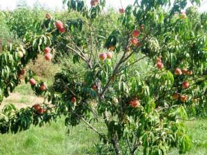Дерево персика с плодами, фото