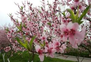 Цветение дерева персика весной, фото