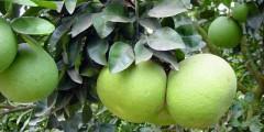 Помпельмус или помело
