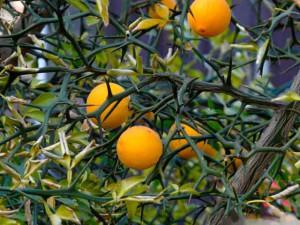Несъедобные плоды понцируса фото