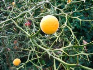 Понцирус трехлистный - подвой для цитрусовых