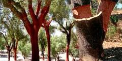 Пробковый дуб фото