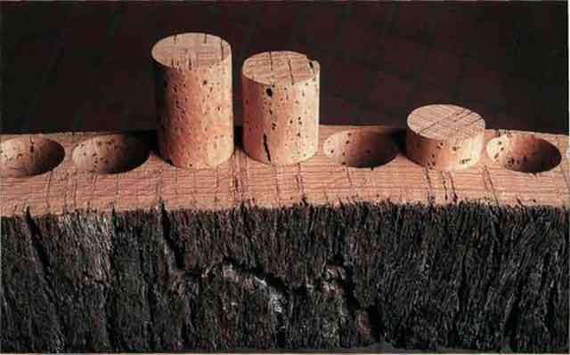 Пробковый дуб описание, применение. Сбор коры фото