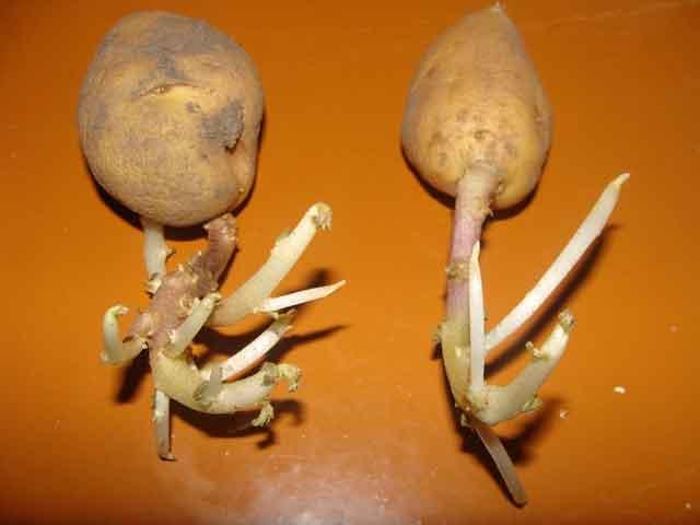 Быстрые способы размножения картофеля