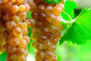 Фото сотра винограда Цоликаури