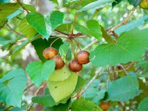 Тунговое дерево фото