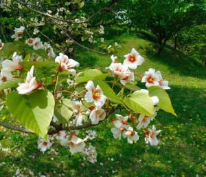 Фото цветов тунгового дерева