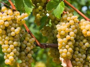 Виноград описание сортов и фото, белый сорт винограда