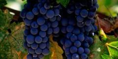 Виноград описание сортов и фото