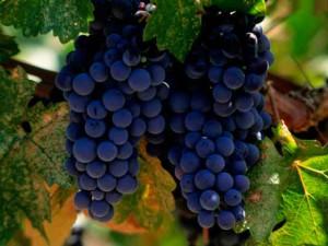 Виноград описание сортов и фото, гроздья темно-синего цвета