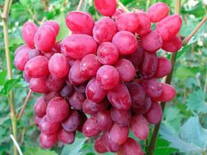 Виноград описание сортов и фото, розового цвета