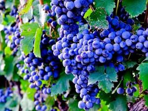 Виноград описание сортов и фото, большие гроздья