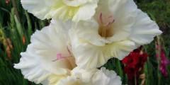 Гладиолус Белые кудри