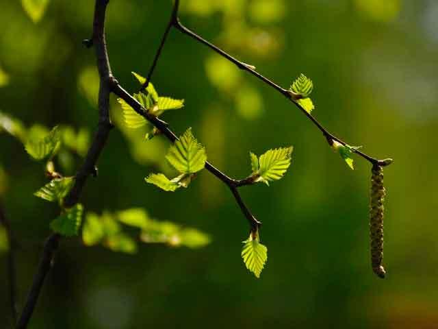 Листья березы в лекарственных целях
