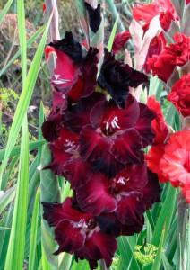 Черный-кардинал