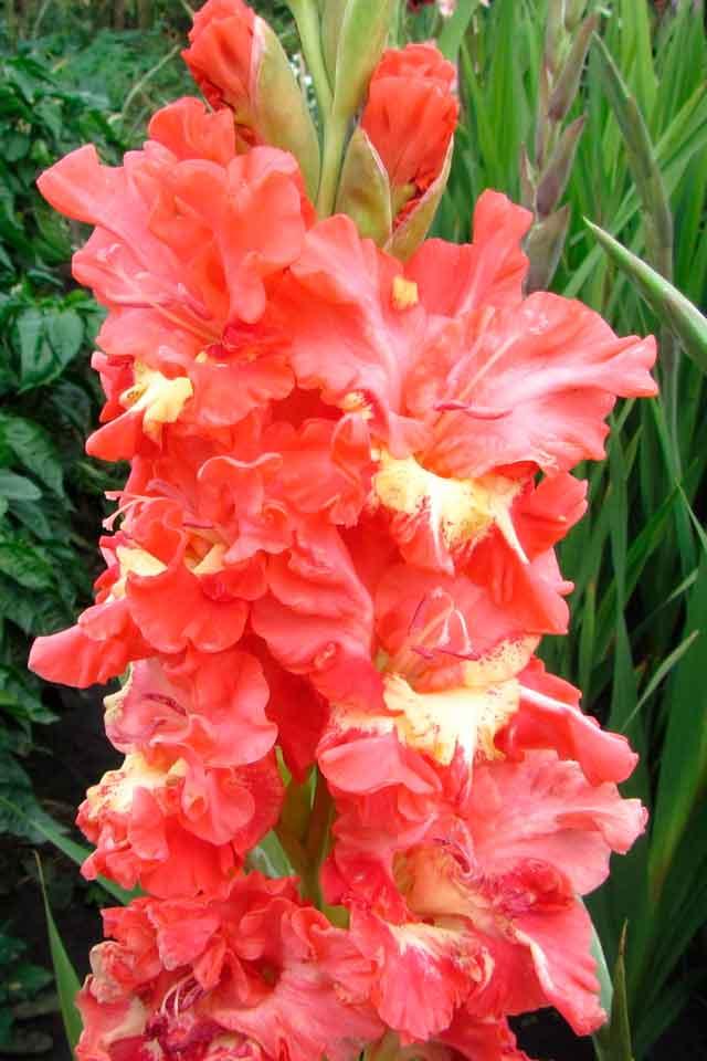 Гладиолус Дикая орхидея описание и фото.
