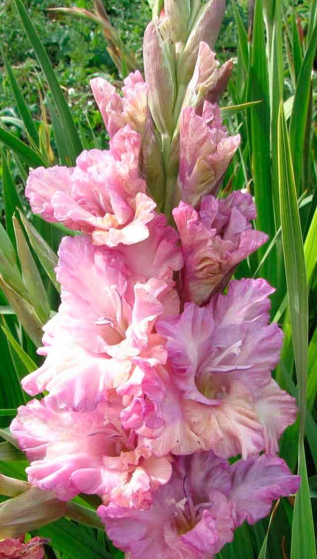 Роз белые, где купить цветы гладиолусы в самаре