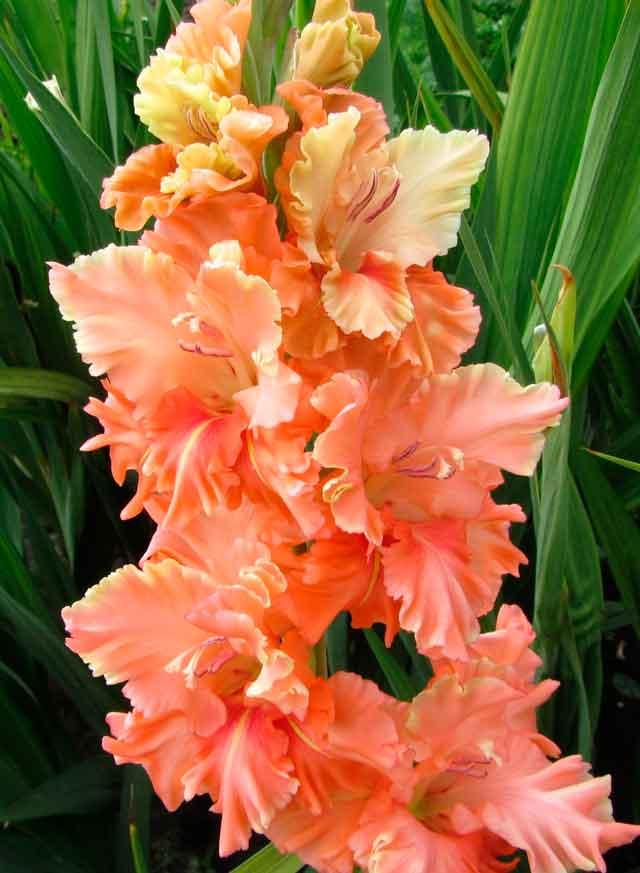 Гладиолусы купить цветы в москве