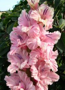 Розовая-фантазия