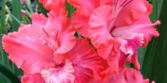 Гладиолус Розовые облака описание и фото.