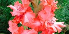 Гладиолус Розовый аккорд описание и фото.