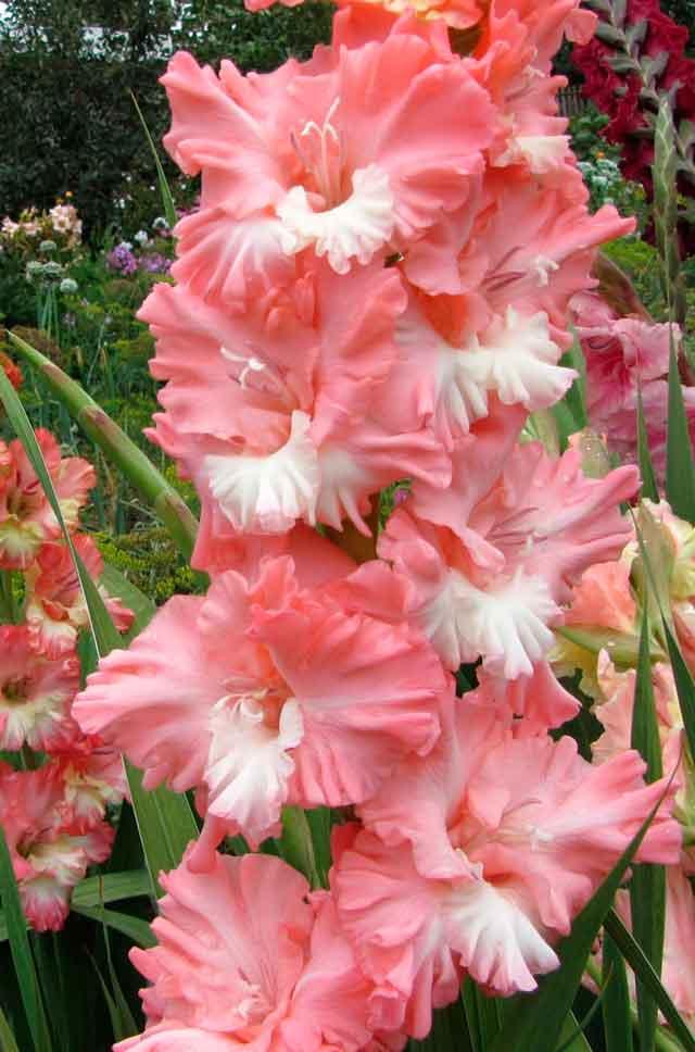 Гладиолус Розовый фламинго описание и фото.