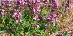 Чабрец (тимьян) полезные лекарственные свойства, противопоказания, фото