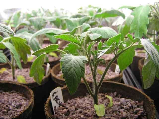 Выращивание рассады помидор, крепкая-рассада фото