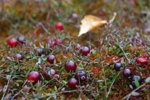Клюква болотная описание, лечебные свойства, применение, фото