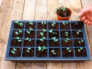 выращивание рассады белокочанной капусты