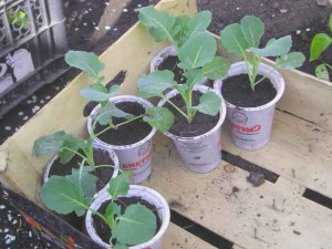 рассада капусты выращивание
