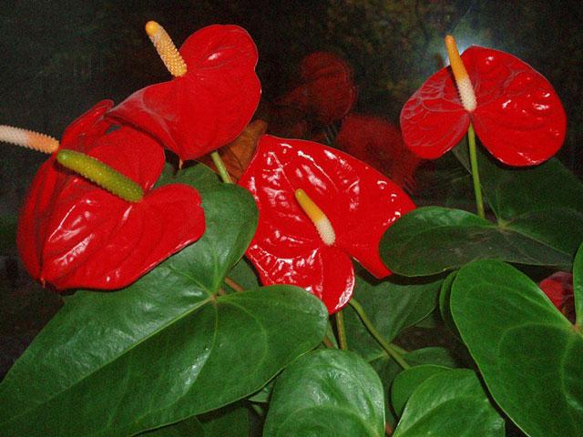 Хотите знать как ухаживать дома за цветком антуриум? Антуриум капризен, но при хорошем уходе радует своими красными цветами. Цветок антуриум красный фото