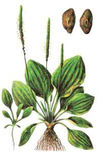 Семена, листья, сок подорожника - при каких заболеваниях применяются и их лечебные свойства, рецепты по применению травы подорожника народной медициной. Фото