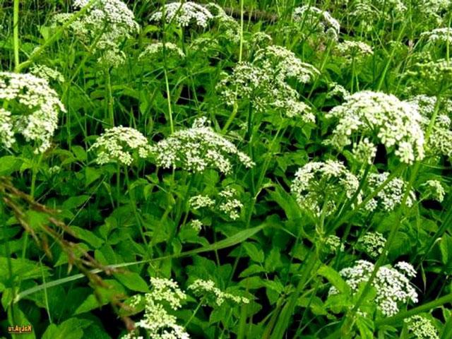описание травы сныть обыкновенная, как ее применять, ее полезные свойства и противопоказания. Сныть фото крупным планом, рецепты