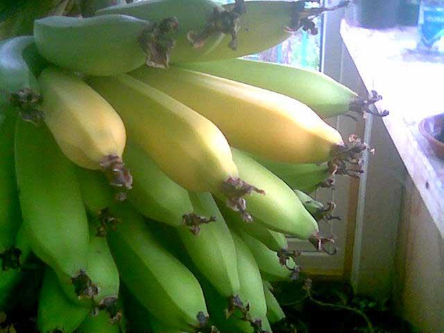 Какие сорта банана можно вырастить в домашних условиях, как ухаживать за этим экзотическим растением, банан фото