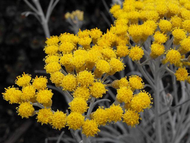 Трава бессмертник (цмин) песчаный лечебные свойства и противопоказания, фото