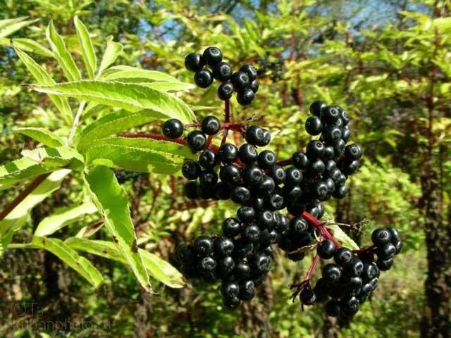 Какие лечебные свойства имеет черная бузина, в каких случаях ее можно применять, рецепты по применению бузины, бузина фото, применение в косметике
