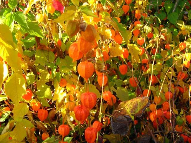Что за необычное растение физалис и как его применять? Выращивание и уход за овощным физалисом. Физалис фото. Почему земляничный?