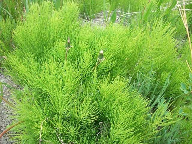 Хвощ полевой фото, полезные лечебные свойства, применение хвоща.