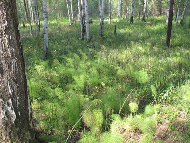 Трава хвощ полевой растет на каждом огороде и многие от нее пытаются избавится, не зная о ее лечебных полезных свойствах. Хвощ полевой фото