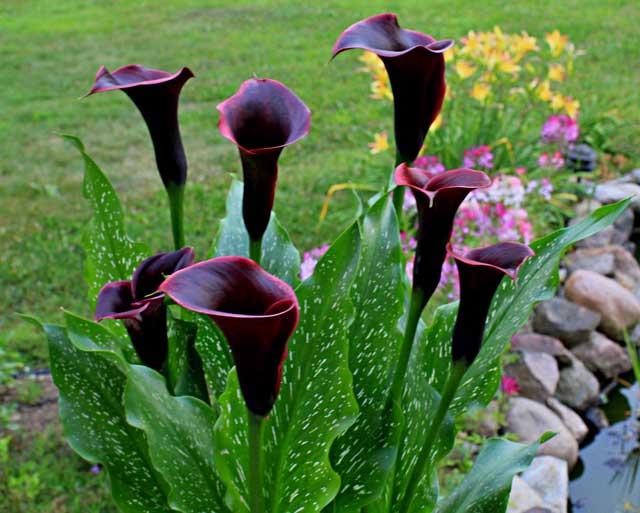 Цветы каллы неприхотливы при выращивании в домашних условия, главное правильно провести их посадку, а уход при выращивании за ними не сложен. Фото каллы