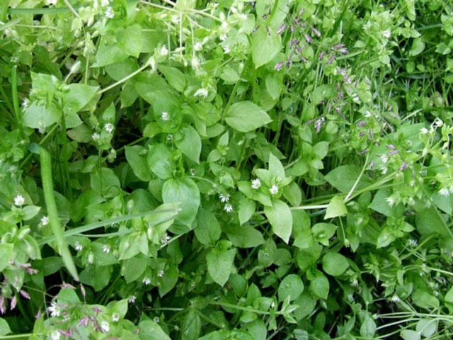 Фото мокрицы травы